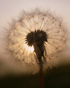 You might be able to enjoy dandelions after a drug detox