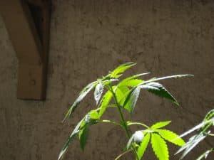 5 Surprising Discoveries of Marijuana Use